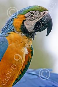 Blue-and-Yellow Macaw 00019 A blue-and-yellow macaw by Peter J Mancus