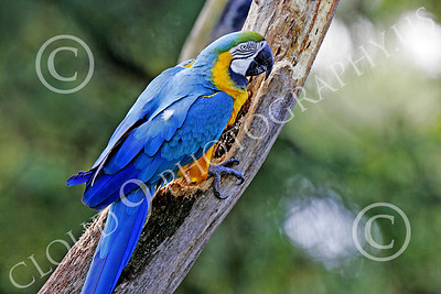 Blue-and-Yellow Macaw 00010 A beautiful, perched, blue-and-yellow macaw by Peter J Mancus
