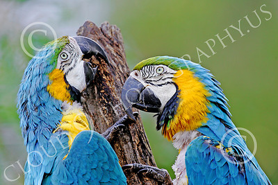 Blue-and-Yellow Macaw 00008 Two beautiful blue-and-yellow macaws by Peter J Mancus