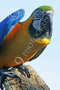 Blue-and-Yellow Macaw 00013 A beautiful, perched, blue-and-yellow macaw by Peter J Mancus