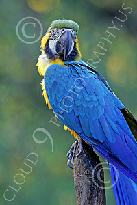Blue-and-Yellow Macaw 00007 A beautiful, perched, blue-and-yellow macaw by Peter J Mancus