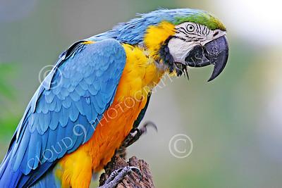 Blue-and-Yellow Macaw 00018 A blue-and-yellow macaw by Peter J Mancus