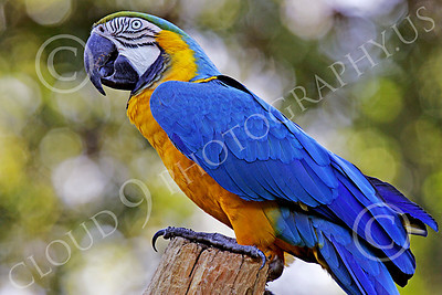 Blue-and-Yellow Macaw 00001 A beautiful, perched, blue-and-yellow macaw by Peter J Mancus