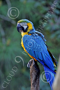 Blue-and-Yellow Macaw 00011 A beautiful, perched, blue-and-yellow macaw by Peter J Mancus