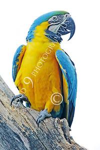 Blue-and-Yellow Macaw 00025 A blue-and-yellow macaw by Peter J Mancus