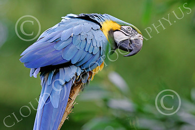 Blue-and-Yellow Macaw 00028 A blue-and-yellow macaw by Peter J Mancus
