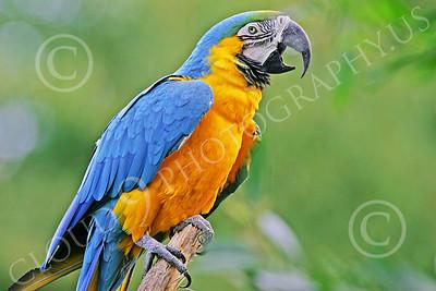 Blue-and-Yellow Macaw 00022 A blue-and-yellow macaw by Peter J Mancus