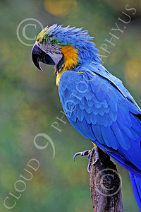 Blue-and-Yellow Macaw 00009 A beautiful, perched, blue-and-yellow macaw by Peter J Mancus