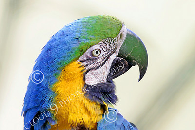 Blue-and-Yellow Macaw 00004 A beautiful, perched, blue-and-yellow macaw by Peter J Mancus
