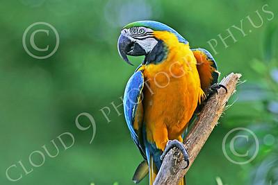 Blue-and-Yellow Macaw 00016 A blue-and-yellow macaw by Peter J Mancus