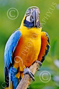 Blue-and-Yellow Macaw 00021 A blue-and-yellow macaw by Peter J Mancus