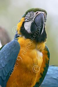 Blue-and-Yellow Macaw 00023 A blue-and-yellow macaw by Peter J Mancus