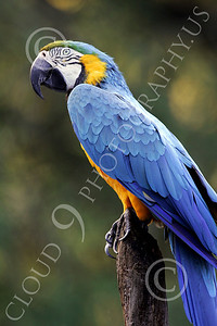 Blue-and-Yellow Macaw 00005 A beautiful, perched, blue-and-yellow macaw by Peter J Mancus