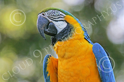 Blue-and-Yellow Macaw 00030 A blue-and-yellow macaw by Peter J Mancus