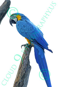 Blue-and-Yellow Macaw 00015 A beautiful, perched, blue-and-yellow macaw by Peter J Mancus