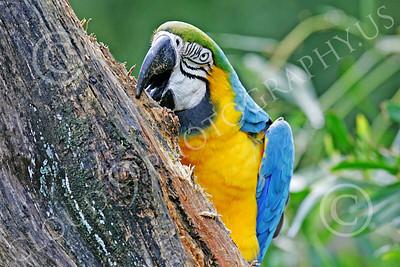 Blue-and-Yellow Macaw 00024 A blue-and-yellow macaw eats wood by Peter J Mancus