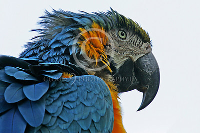 Blue-and-Yellow Macaw 00014 Portrait of a blue-and-yellow macaw by Peter J Mancus