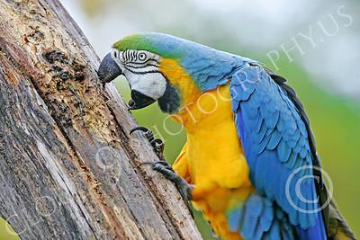 Blue-and-Yellow Macaw 00020 A blue-and-yellow macaw by Peter J Mancus
