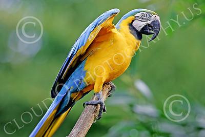 Blue-and-Yellow Macaw 00026 A blue-and-yellow macaw by Peter J Mancus