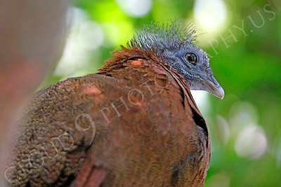 Malay Great Argus Pheasant 00003 A male Malay Great Argus Pheasant by Peter J Mancus