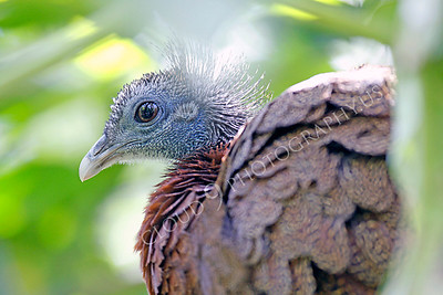 Malay Great Argus Pheasant 00026 by Peter J Mancus