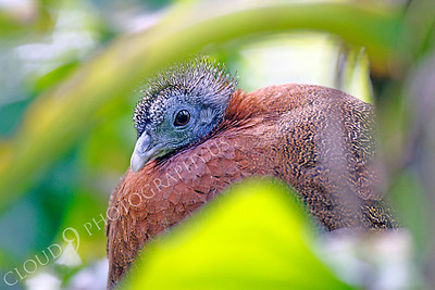 Malay Great Argus Pheasant 00020 by Peter J Mancus