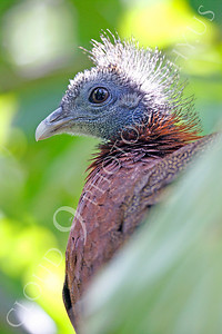 Malay Great Argus Pheasant 00005 by Peter J Mancus