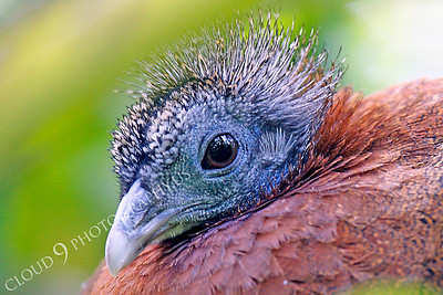 Malay Great Argus Pheasant 00012 by Peter J Mancus