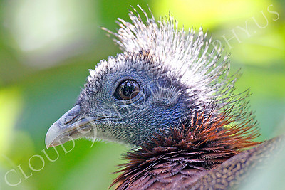 Malay Great Argus Pheasant 00038 by Peter J Mancus