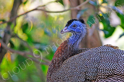 Malay Great Argus Pheasant 00022 A male Malay Great Argus Pheasant by Peter J Mancus