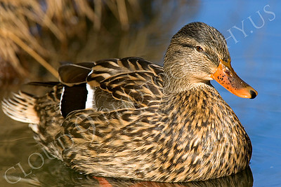 Mallard duck 00009 Female mallard duck by Peter J Mancus