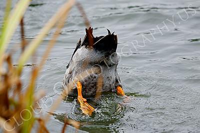 Mallard duck 00006 by Male mallard duck Peter J Mancus