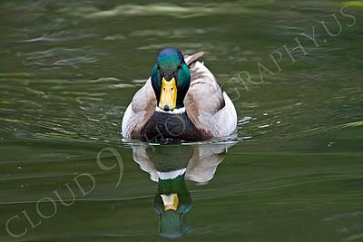 Mallard duck 00008 Male mallard duck by Peter J Mancus