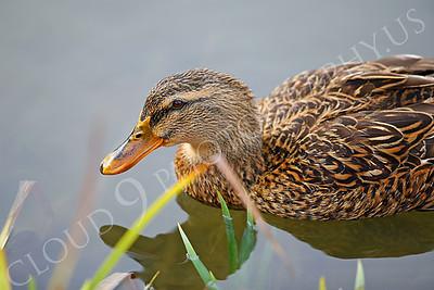 Mallard duck 00012 Female mallard duck by Peter J Mancus
