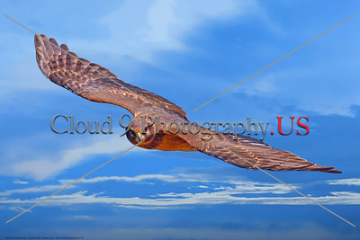 Northern Harrier Hawk 0023 A flying juvenile Northern Harrier Hawk in Southern Oregon 7-2017, wild bird picture by Peter J  Mancus     DONEwt