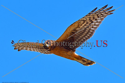 Northern Harrier Hawk 0008 A flying juvenile Northern Harrier Hawk in Southern Oregon 7-2017, wild bird picture by Peter J  Mancus     DONEwt