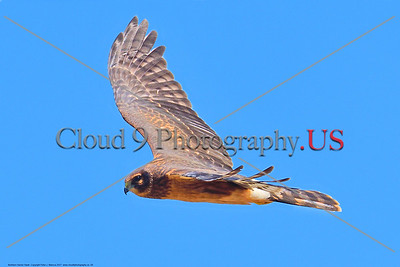 Northern Harrier Hawk 0004 A flying juvenile Northern Harrier Hawk in Southern Oregon 7-2017, wild bird picture by Peter J  Mancus     DONEwt