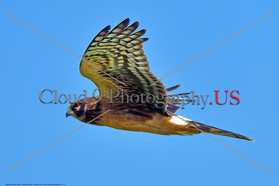Northern Harrier Hawk 0003 A flying juvenile Northern Harrier Hawk in Southern Oregon 7-2017, wild bird picture by Peter J  Mancus     DONEwt