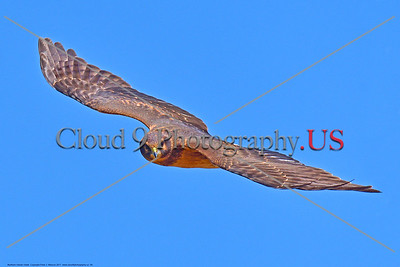 Northern Harrier Hawk 0009 A flying juvenile Northern Harrier Hawk in Southern Oregon 7-2017, wild bird picture by Peter J  Mancus     DONEwt