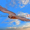 Northern Harrier Hawk 0010 A flying juvenile Northern Harrier Hawk in Southern Oregon 7-2017, wild bird picture by Peter J  Mancus     DONEwt