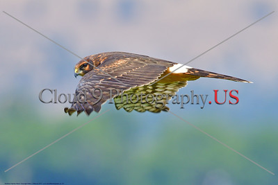 Northern Harrier Hawk 0007 A flying juvenile Northern Harrier Hawk in Southern Oregon 7-2017, wild bird picture by Peter J  Mancus     DONEwt