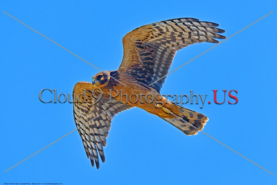 Northern Harrier Hawk 0001 A flying juvenile Northern Harrier Hawk in Southern Oregon 7-2017, wild bird picture by Peter J  Mancus     DONEwt