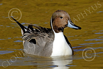 Northern Pintail Duck 00001 A floating northern pintail duck, by Peter J Mancus