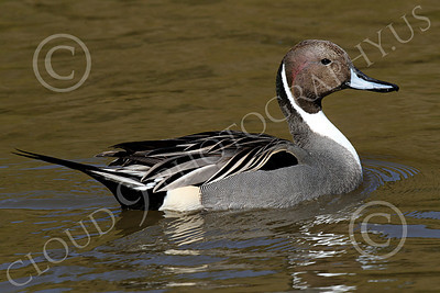 Northern Pintail Duck 00002 A floating northern pintail duck, by Peter J Mancus