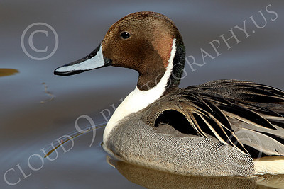 Northern Pintail Duck 00003 Tight crop head portrait of a floating northern pintail duck, by Peter J Mancus