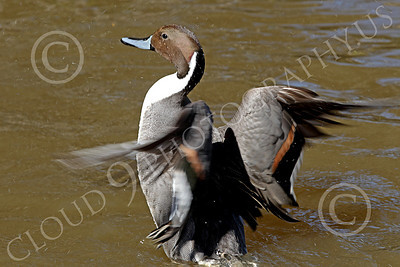 Northern Pintail Duck 00004 A northern pintail duck flaps its wings, by Peter J Mancus