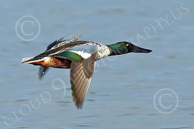 Northern Shoveler 00001 A flying Northern Shoveler duck, wild bird photograph by Peter J Mancus