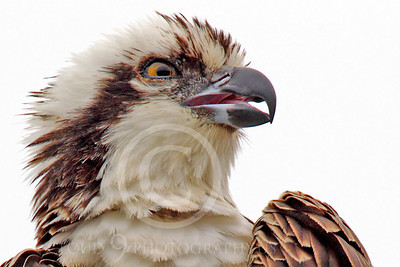 Osprey 00006 A tight head and should portrait of an adult osprey with an open beak, by Peter J Mancus