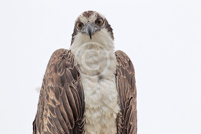 Osprey 00001 A tight crop head portrait of a mature osprey, by Peter J Mancus