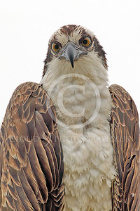Osprey 00021 A tight vertical crop portrait of a mature osprey, by Peter J Mancus